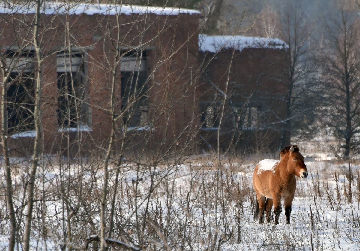GettyImages-509964158 chernobyl horse standing in field