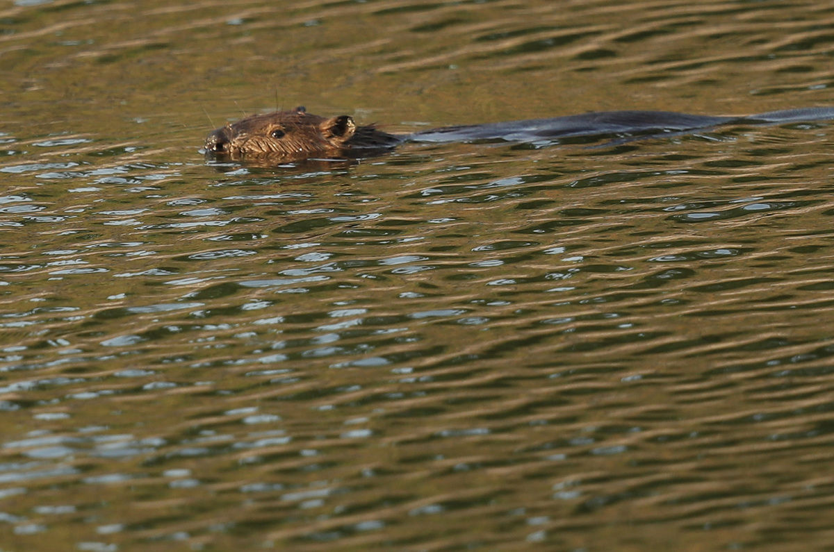 beaver chernobyl swimming in cooling ponds