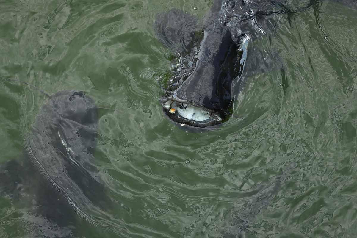 catfish chernobyl swimming in cooling pond