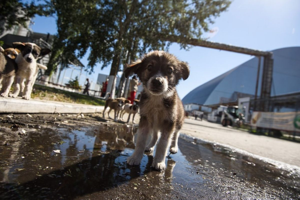 chernobyl puppies photo of them walking