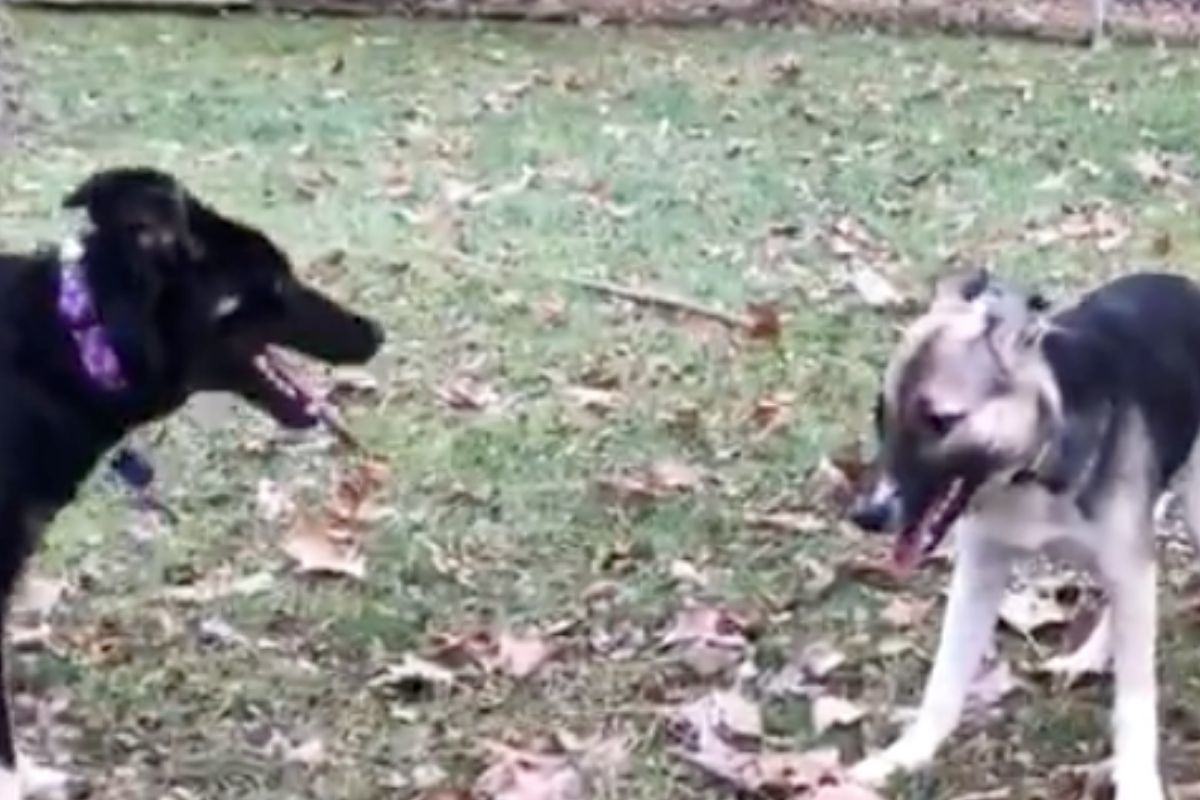 puppies playing together chernobyl adorable siblings reunited