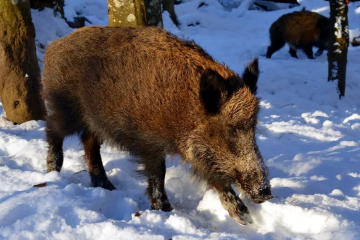 wild boar in the forest snow on the ground