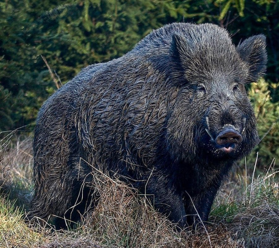 wild boar looking right at camera