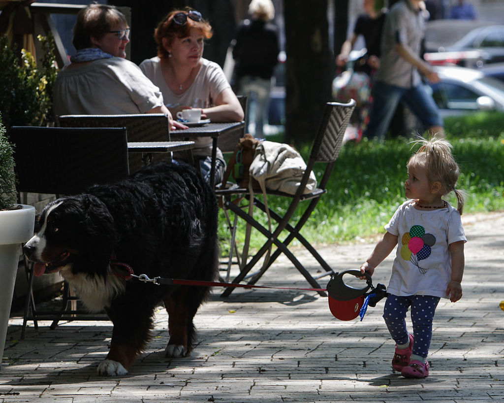 A little girl walks her Bernese Mountain Dog on a leash