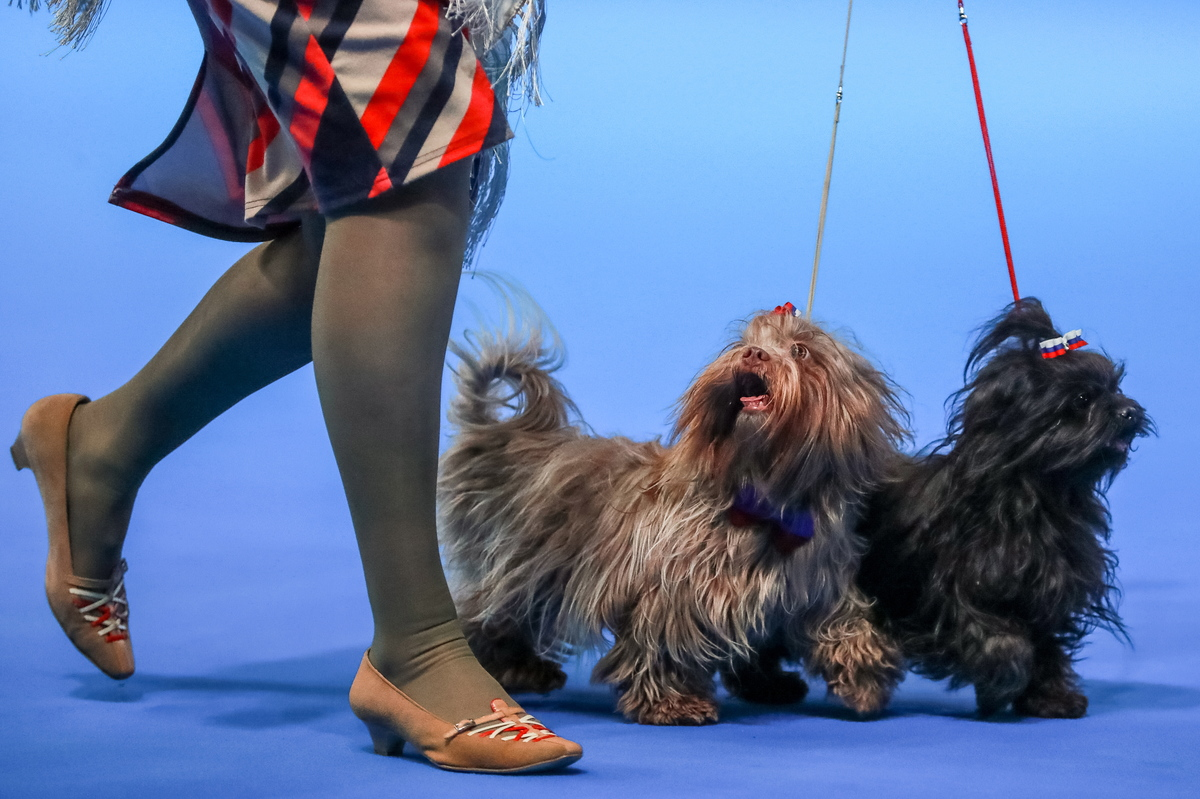 Russian Tsvetnaya Bolonkas at the Russia 2018 International Dog Show (CACIB), at the Crocus Expo exhibition centre in Krasnogorsk, Moscow Region; the dog show was organised by the Russian Canine Federation (RKF).