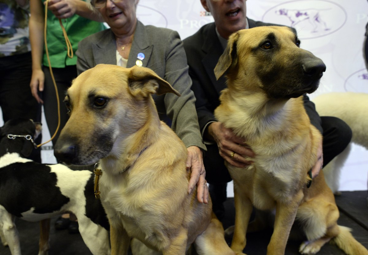 A pair of Chinook, one of three new breeds, meet the press during a press event at Madison Square Garden January 15, 2014 to promote the First-ever Masters Agility Championship at the 138th Annual Westminster Kennel Club Dog Show .