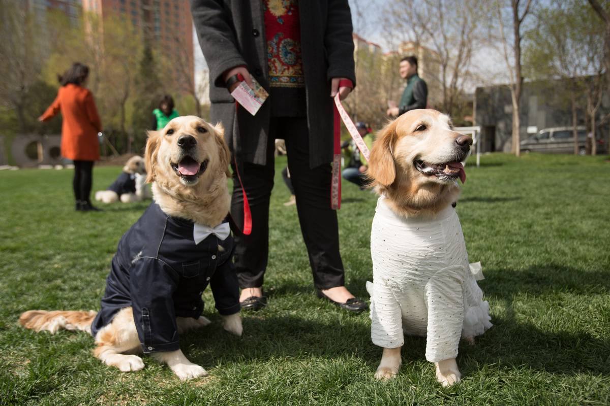 Group wedding for pet dogs gets held at Purple Jade Villa in Beijing, China