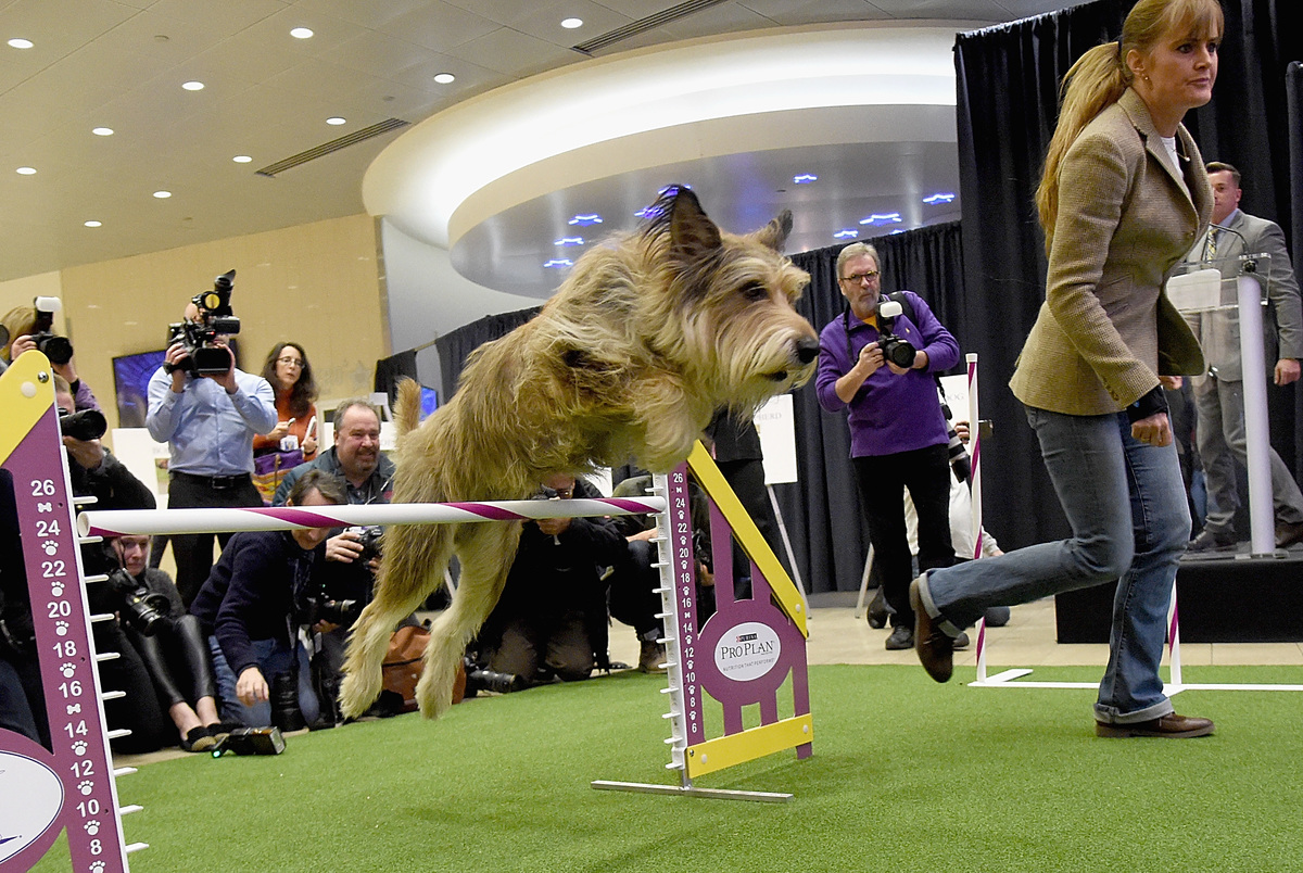 The Berger Picard breed debuts at 140th Annual Westminster Kennel Club Dog Show - Meet The New Breeds at Madison Square Garden on January 21, 2016 in New York City.