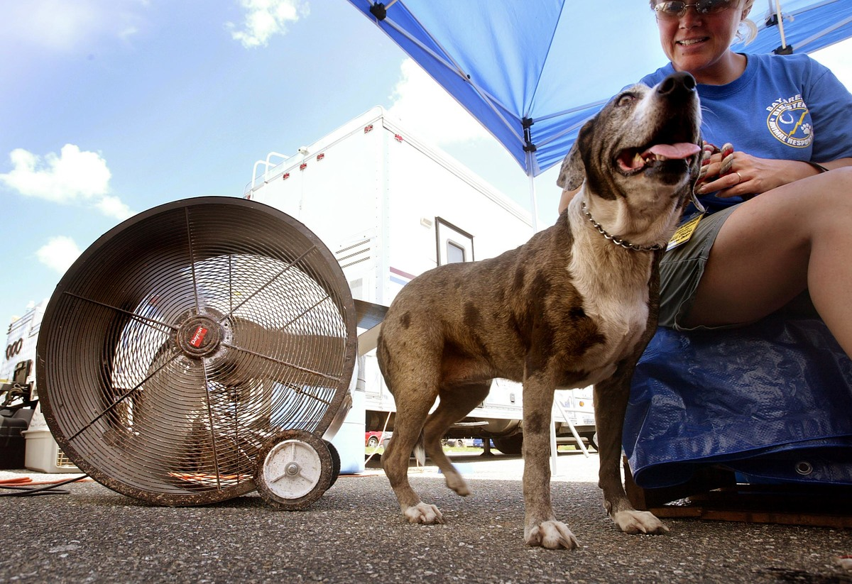 Hela, a Catahoula leopard hound, cools off by a fan at the animal rescue facilty D.A.R.T. for animals affected by Hurricane Charley August 20, 2004 in Punta Gorda, Florida.