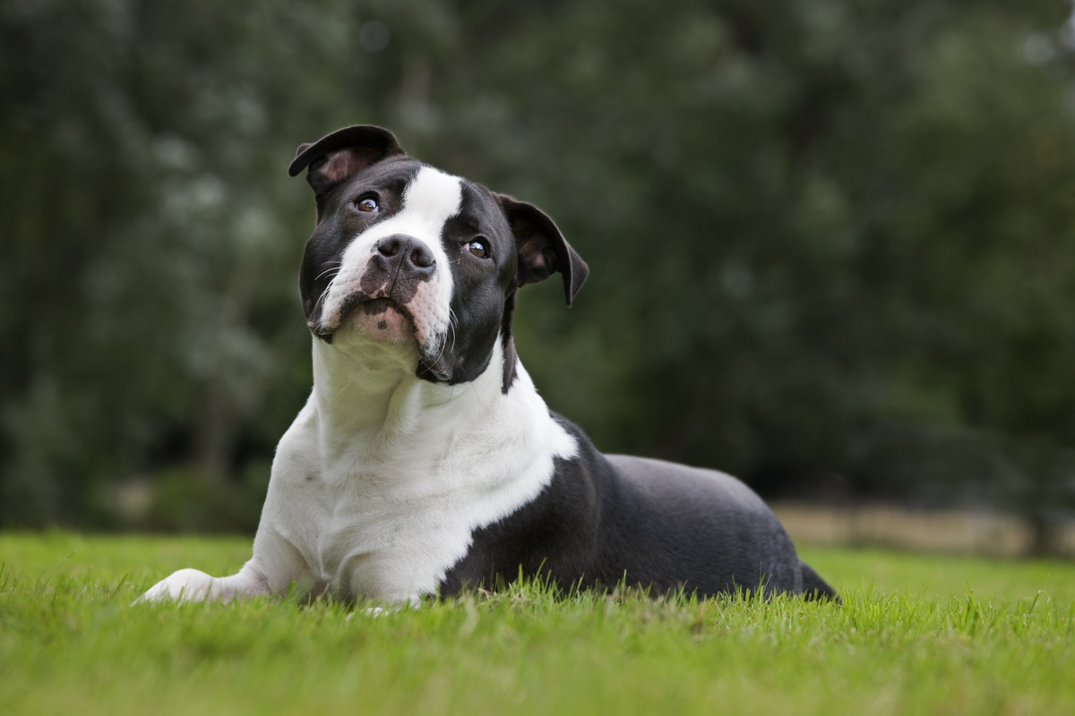 American Staffordshire terrier (Canis lupus familiaris) in garden .