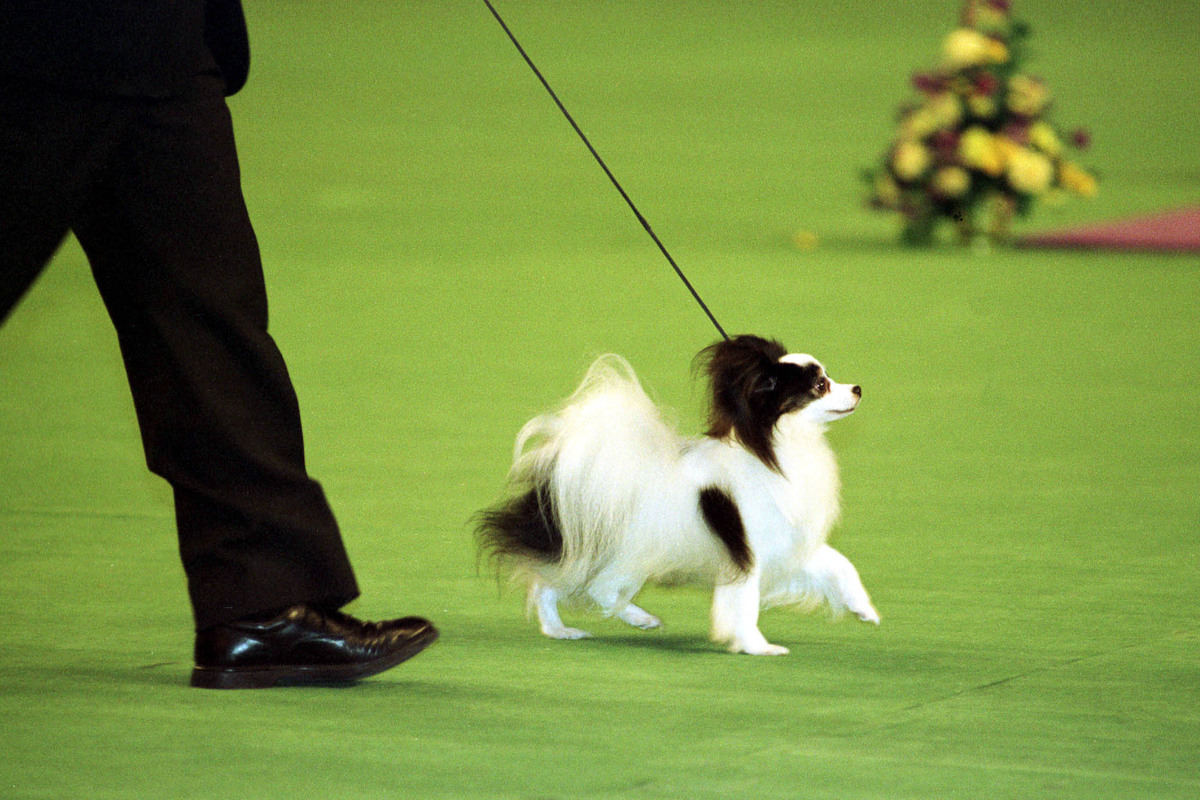 1999 Westminister Kennel club dog Show winner of Best-In-Show Ch. Loteki Supernatural Being or Kirby as he is known struts his stuff in the center ring at Madison Square Garden.