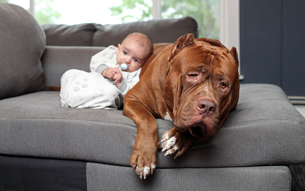 A baby leans on a pitbull.