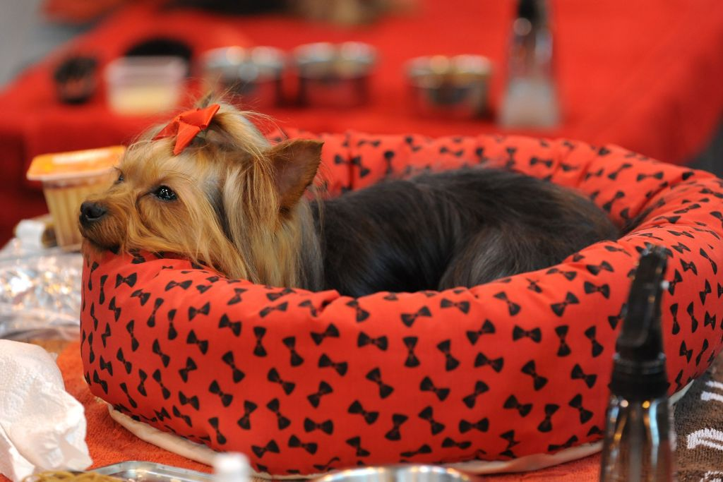 a yorkshire terrier in a red dog bed