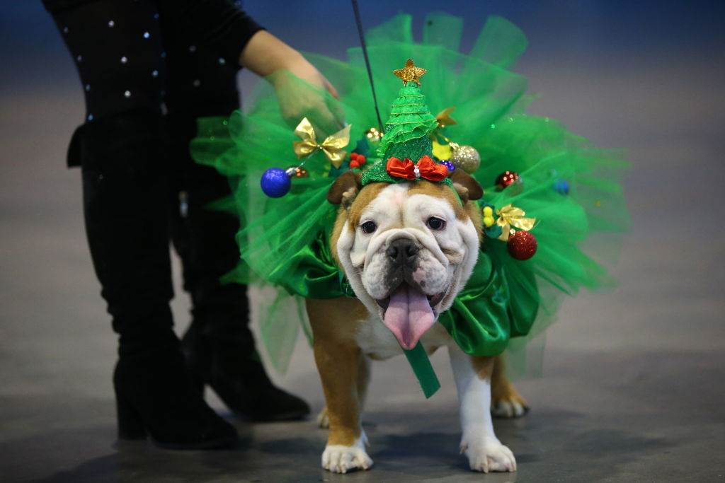 a bulldog wearing a christmas outfit