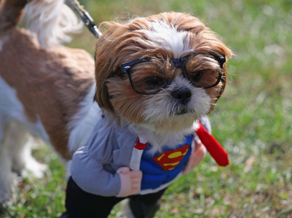 a shih tzu dog in a superman costume with glasses
