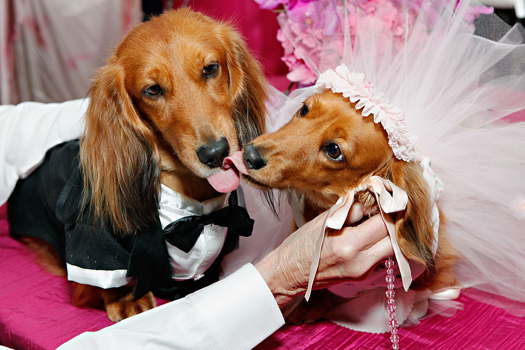 two dogs dressed as a bride and groom